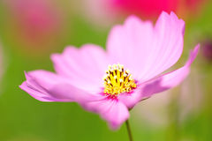 Free Cosmos Flower Royalty Free Stock Photos - 28228228