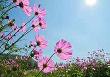 Cosmos flower Royalty Free Stock Image