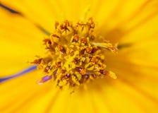 Cosmos flower Royalty Free Stock Photos