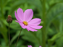 Cosmos Flower. Pink Cosmos Flower royalty free stock photos