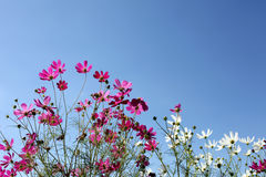 Cosmos flower against blue sky Royalty Free Stock Photos