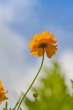 Cosmos flower against blue sky Stock Image