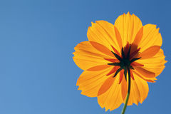 Cosmos flower against blue sky Stock Photography