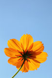 Cosmos flower against blue sky Stock Photos