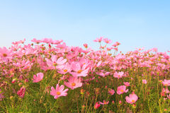 Cosmos flower against blue sky Stock Image