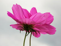 The Cosmos flower Stock Images