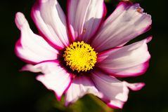 Cosmos. The flower of the Cosmos in an autumn garden Royalty Free Stock Photography
