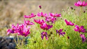 Cosmos flower. Beautiful flowers for gardening work Stock Image