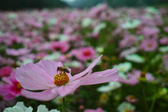 cosmos flower and bee Royalty Free Stock Images