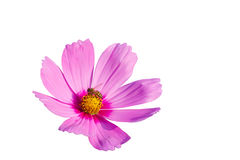 Cosmos flower and bee Royalty Free Stock Photo