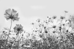 Cosmos flower. Black and white Cosmos flower Stock Photo