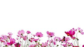 Cosmos flowers. royalty free stock photography