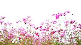 Cosmos flowers. stock photo