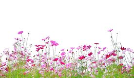 Cosmos flowers are blooming and green stalk isolated on white background. stock images