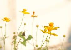 Cosmos flower bloom plant shine sweet colorful sunshine beautifu Stock Images