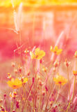 Cosmos flower bloom sweet colorful sunshine Stock Images
