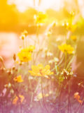 Cosmos flower bloom sweet colorful sunshine Royalty Free Stock Photography