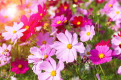 Cosmos flower. Blooming s., beautiful spring  background Stock Photos