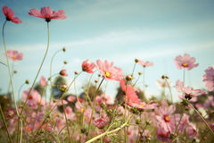 Cosmos flower blossom in garden Royalty Free Stock Photo