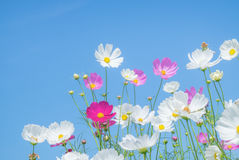 Cosmos flower on blue. Background Royalty Free Stock Image