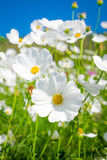 Cosmos flower on blue. Background Royalty Free Stock Images
