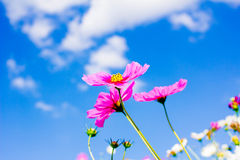 Cosmos flower and blue sky Royalty Free Stock Photography