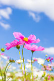 Cosmos flower and blue sky Royalty Free Stock Photo