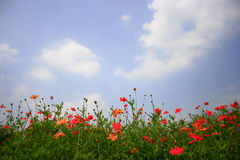 Cosmos flower and blue sky Stock Photo