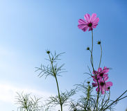 Cosmos flower on blue sky background Stock Photos