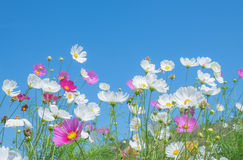 Cosmos flower on blue sky background. In spring time Stock Image