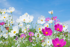 Cosmos flower on blue sky background. In spring time Royalty Free Stock Photography