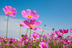 Cosmos flower with blue sky Stock Photo