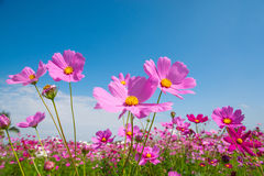 Cosmos flower with blue sky Stock Images