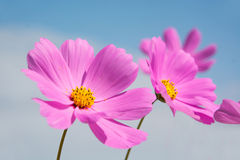 Cosmos flower with blue sky Stock Photography