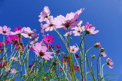 Cosmos flower with blue sky Stock Image