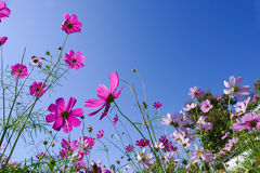 Cosmos flower with blue sky Royalty Free Stock Image