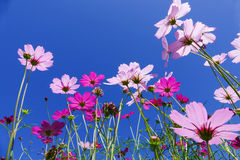 Cosmos flower with blue sky Royalty Free Stock Photos