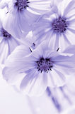 Cosmos flower in blue toned Stock Image