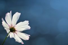 Cosmos flower on blurred blue background. With copy space royalty free stock image