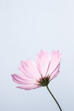 Cosmos Flower with Bright Blue Sky Royalty Free Stock Images