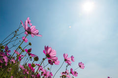 Cosmos Flower with Bright Blue Sky. Cosmos flower garden and blue sky Royalty Free Stock Photos