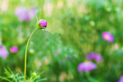 Cosmos flower bud Royalty Free Stock Images