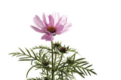 Cosmos flower and buds Stock Images
