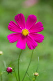 Cosmos flower, close up Stock Photo