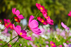 Cosmos flower close up beautiful. Cosmos flower Cosmos Bipinnatus with blurred background Stock Image