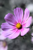 Cosmos flower. close up Royalty Free Stock Images