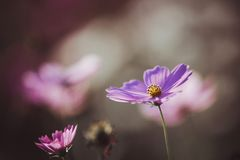Cosmos flower close up on sunset background with soft selective stock photos