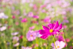 Cosmos flower close up on sunset background with soft selective stock photo