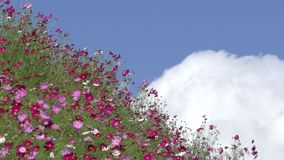 Cosmos flower with cloud. Pink cosmos flower field under sky with blowing cloud stock video footage