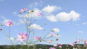 Cosmos flower and clouds stock video